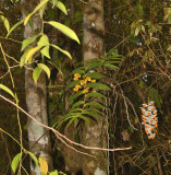 Dense evergreen jungle,Dendrobium chrysanthum and D.  thyrsiflorum
