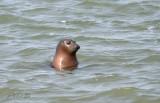 Zeehond Oosterschelde