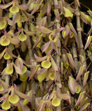 D. aphyllum, yellow