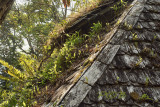 deserted house with orchids on the roof (Otochilus fuscus)