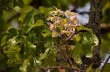Dendrobium signatum pink
