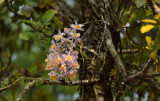 D. gratiotissimum 450 mm telephoto
