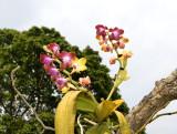 Phalaenopsis hygrochila var. marriottiana