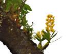 Dendr. chrysotoxum 25 mtr high
