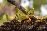Phalaenopsis cornu-servi, 25 mtr.  of the ground
