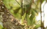 Bulbophyllum nigrescens, epiphytic