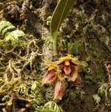 Bulbophyllum dayanum, lithophyte