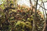 Bulbophyllum dayanum lithophytic habitat
