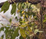 Dendrobium dixanthum in habitat
