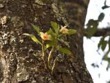 Dendr cariniferum in habitat