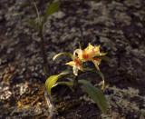 Dendr cariniferum in habitat on Prunus arboreus