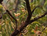 Dendr cariniferum, habitat