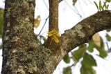 Bulbophyllum khayoaiense, 300 mm telephoto
