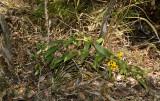 D. chrysanthum, lithophytic