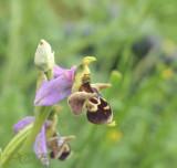 Ophrys holubyana
