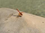 Oranje zonnewijzer, Trithemis kirbyi, vanuit Afrika  opgerukt tot in de pyreneeen
