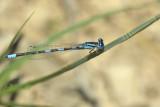 Coenagrion scitulum, gaffeljuffer man