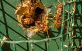 Hoornaars in een mezennestkastje.
