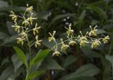 Dendrobium venustum, green or yellow flowers