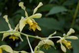 Dendrobium venustum, flowers 2½-3 cm across
