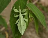 Leaf insect - wandelend blad- lengte 6 cm