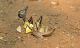 Butterflies on urine
