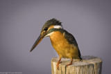 Kingfishers from Thailand