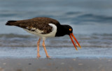 Oyster Catcher catching