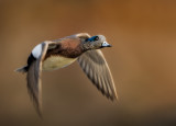 Widgeon fly by