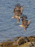 White-tailed Eagle - Zeearend - Haliaeetus albicilla