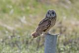 Short-eared Owl - Velduil - Asio flammeus