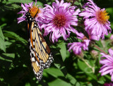 Asters and Monarchs