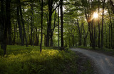 Evening Sunlight On Ferns:  Bald Knob