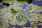 Water Lillies On Pandapas Pond