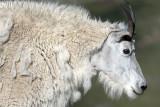 A Rocky Mountain Goat: Mt. Evans