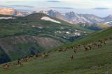 Elk Herd Grazing: RMNP