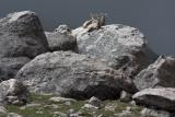 Bighorn Sheep Resting On Mt. Evans
