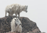 Mountain Goats And Fog On  Mount Evans