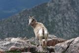 Big Horn Ewe Looking Behind-Mt.Evans