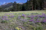Wild Flowers Near West Horseshoe-RMNP