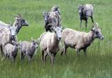 Big Horn Sheep At Sheep Lake-RMNP