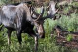 Bull Moose Approaching