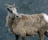 Big Horn Ewe On Mt. Evans