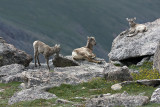 Young Big Horn Sheep On Mt. Evans