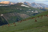 Elk Herd In The Highlands