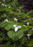 Trillium In Early Bloom