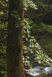 Dogwoods Beside Laurel Creek