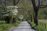 Blooming Dogwoods In Cades Cove