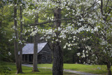 Dogwoods And Cabin