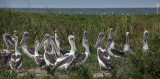 Young Pelicans On Beacon Island-Near Portsmouth